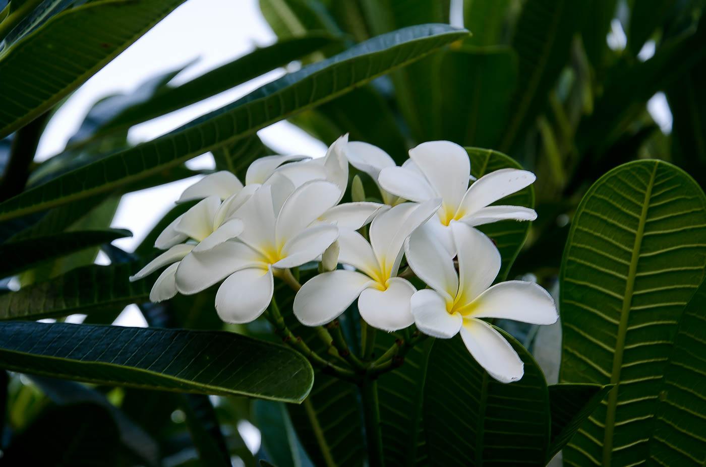 Plumeria at Kuleana, Maui, HI | Pono Images