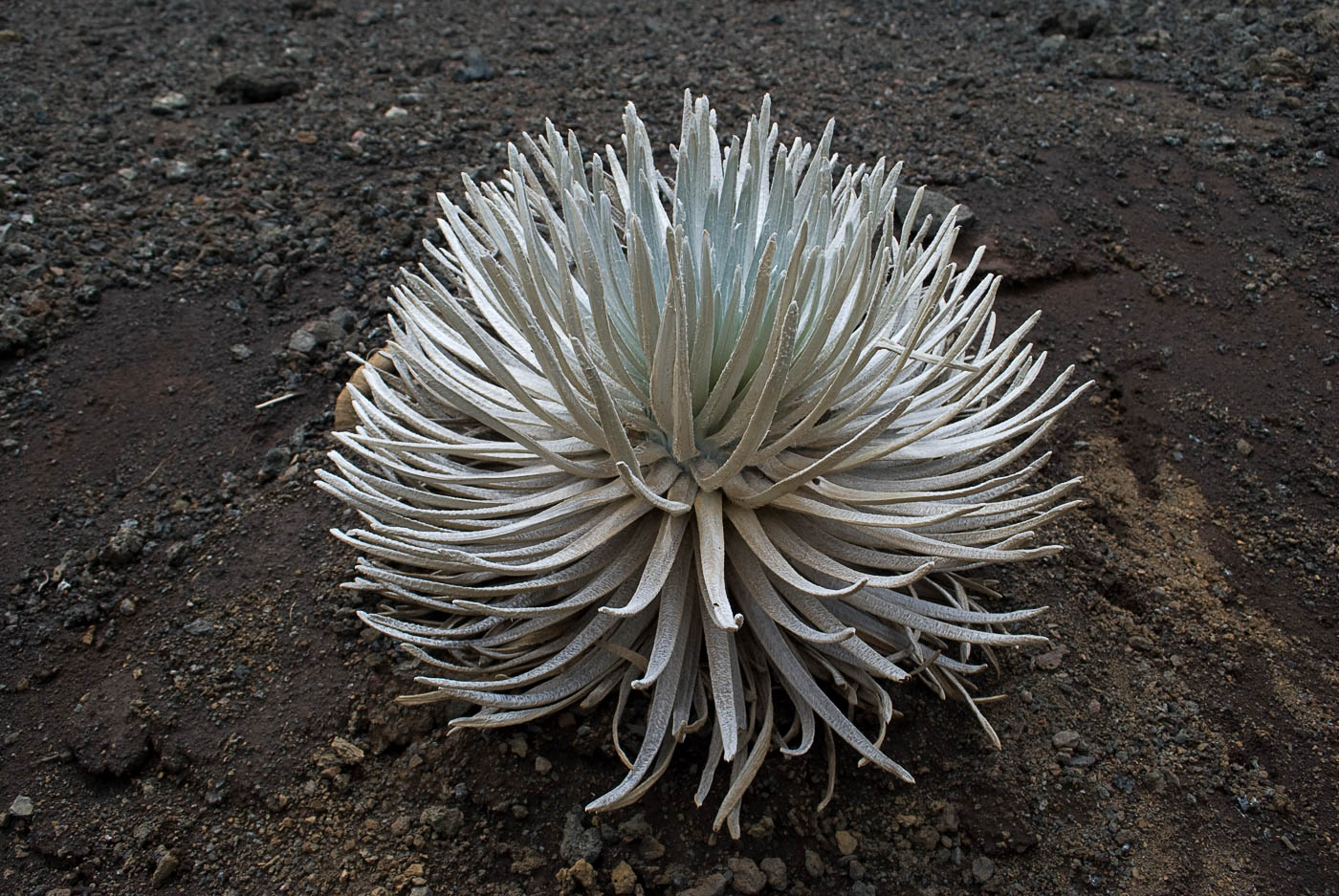 Silversword Trail, Haleakala Crater, Maui | Pono Images