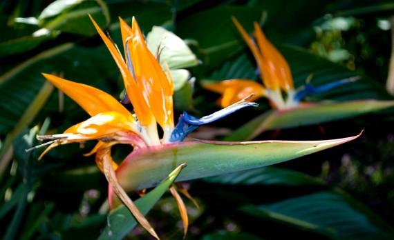 Bird of Paradise | Pono Images
