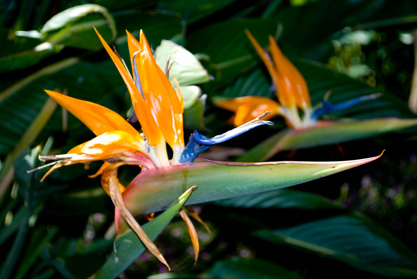 Bird of Paradise | Pono Images