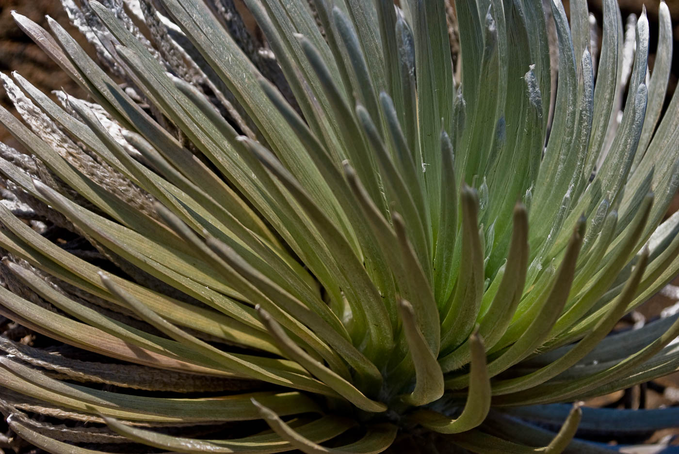 Silversword | Pono Images