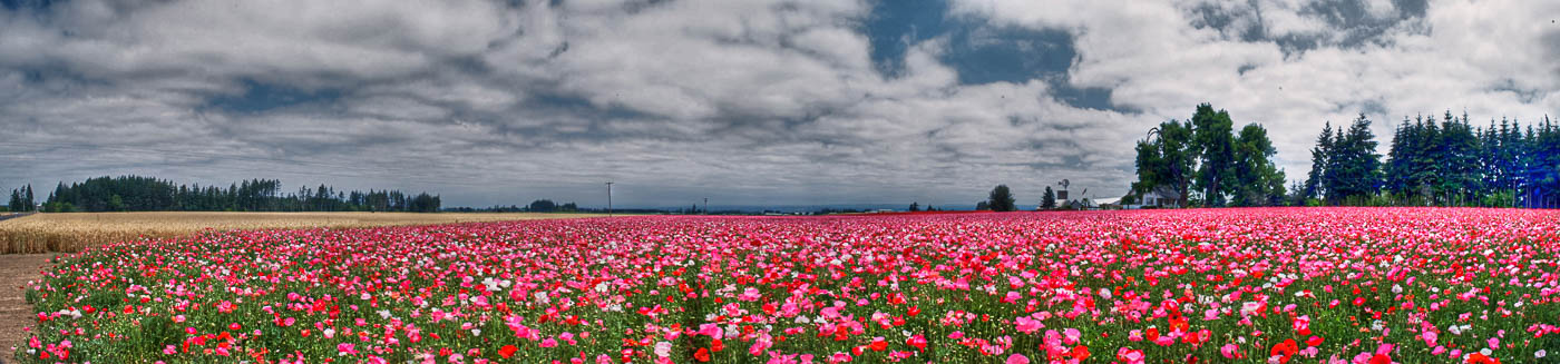 Poppy Field Panorama - Oregon | Pono Images