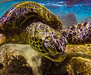 Exploring Honu - Hawai'i Photography by Pono Images