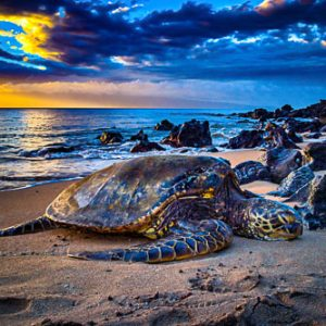 Turtle Nap - Sea Turtle | Hawai'i Photography by Pono Images