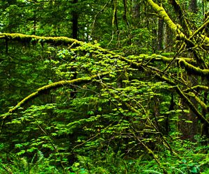 Rainforest at Silver Falls State Park, Oregon. Photo by Pono Images